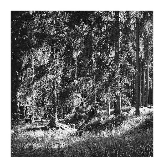 Sunlit conifers