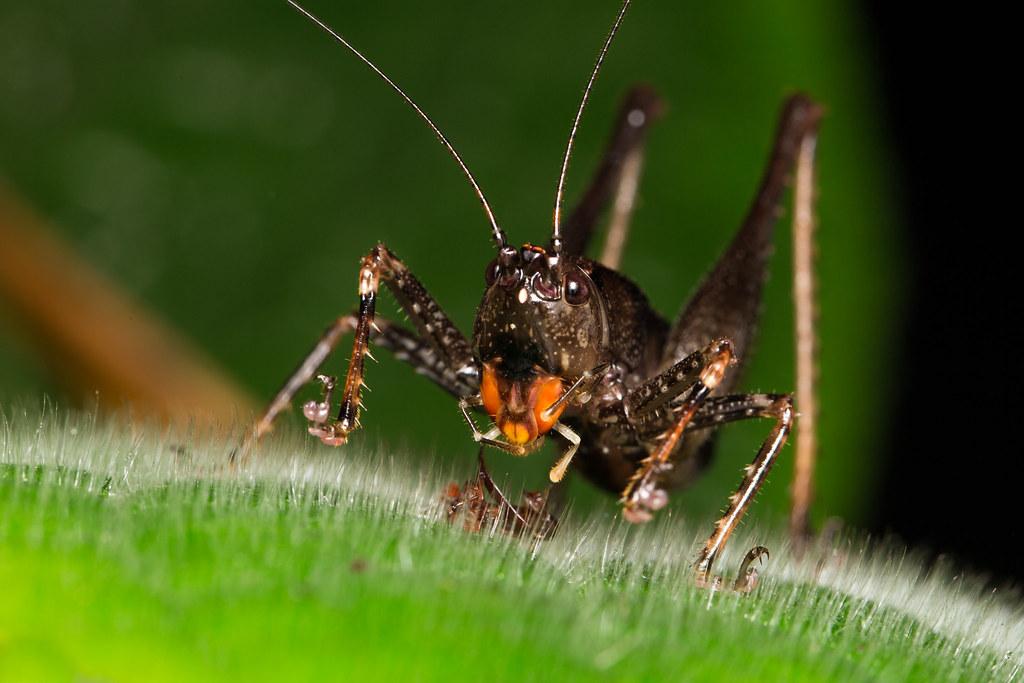 Orange-mouth grasshopper (I.D unknown)