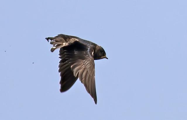 Swallow? Swift?