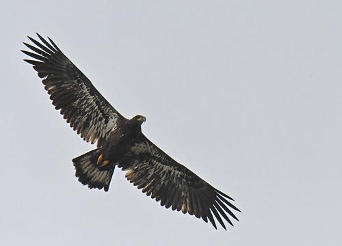 Bald Eagle - Braddock Bay East Spit - © Dick Horsey - Aug 19, 2021