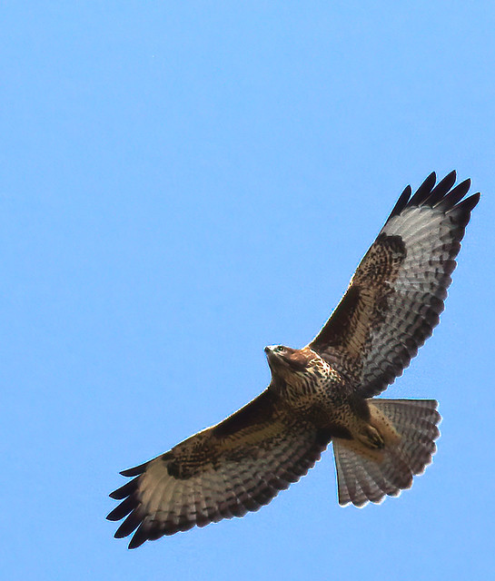 Buzzard soaring