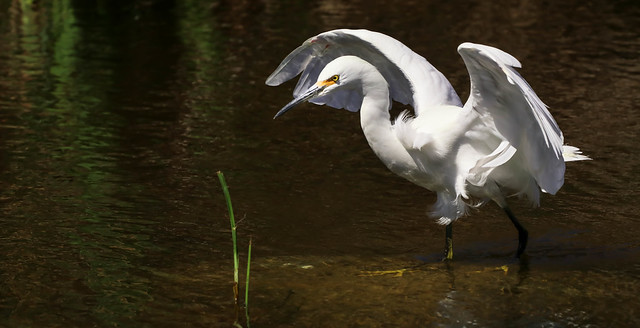 Snowy Egret     ... yellow feet  135 Legacy Park Malibu Southern California_