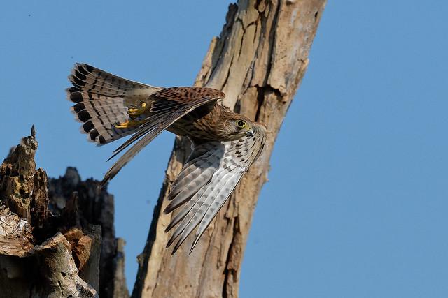 Faucon crécerelle - Falco tinnunculus - Common Kestrel - Turmfalke - Cernícalo vulgar - Gheppio comune