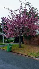 Cherry blossom in lockdown