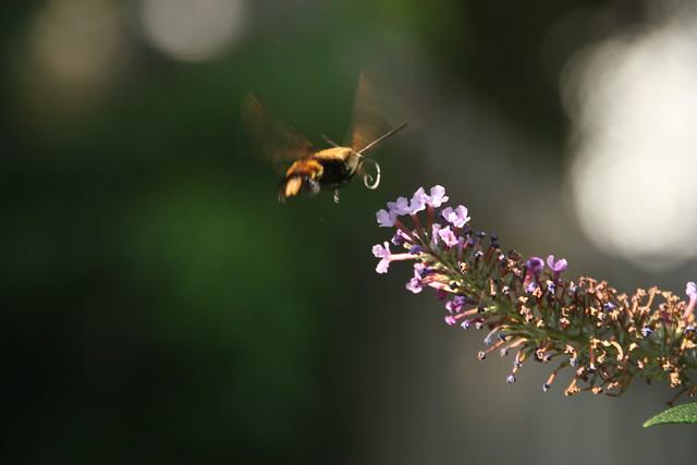 2021 233/365 8/21/2021 SATURDAY - Hummingbird Moth