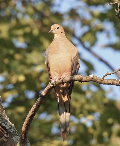 Mourning Dove - Durand Eastman Park - © Eunice Thein - Aug 23, 2021