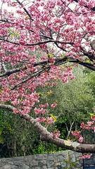 Cherry blossom in lockdown.