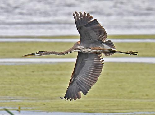 Great Blue Heron - Braddock Bay East Spit - © Dick Horsey - Aug 19, 2021
