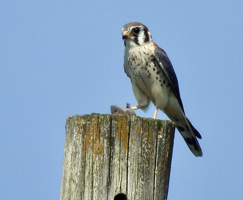 American Kestrel - Nations Road - © Candace Giles - Aug 24, 2021