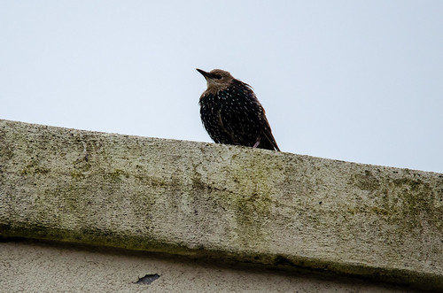 Juvenile starlings, city centre