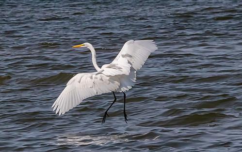 Great Egret - Braddock Bay East Spit - © David Laiacona - Aug 20, 2021
