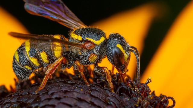 Pretty Little Wasp