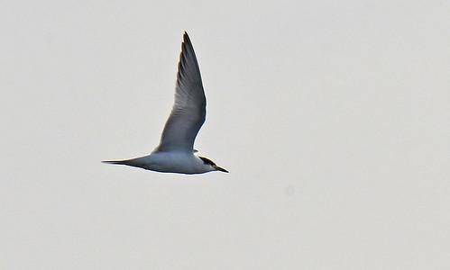Common Tern - Braddock Bay East Spit - © Dick Horsey - Aug 20, 2021