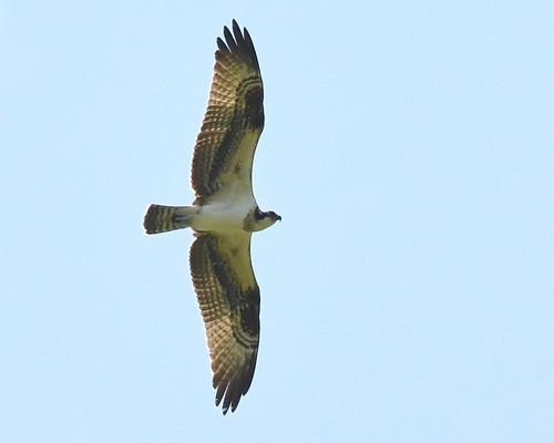 Osprey - Montezuma NWR (RBA field trip) - © Alan Bloom - Aug 22, 2021