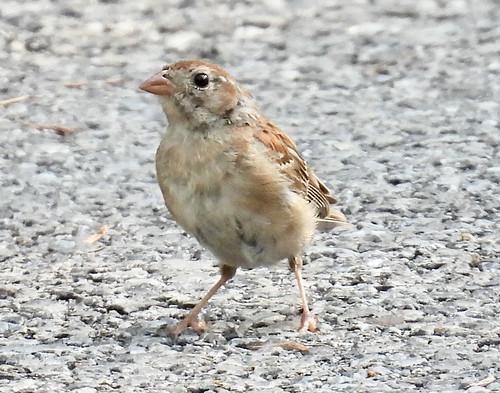 Field Sparrow - Durand Eastman Park - © Eunice Thein - Aug 20, 2021