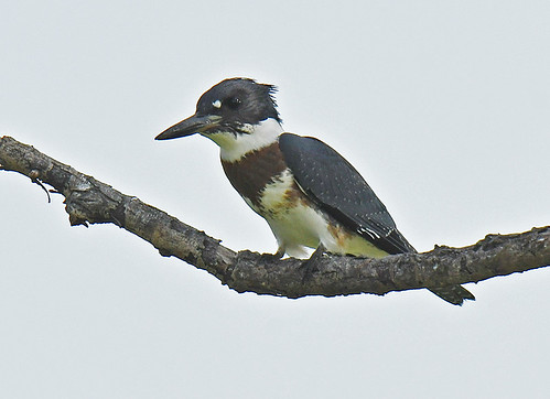 Belted Kingfisher - Braddock Bay East Spit - © Dick Horsey - Aug 20, 2021