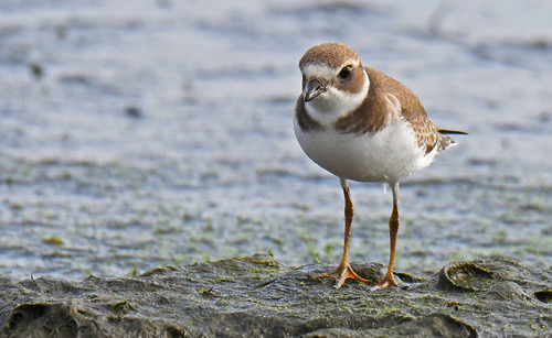Semipalmated Plover (Juv) - Braddock Bay East Spit - © Dick Horsey - Aug 22, 2021