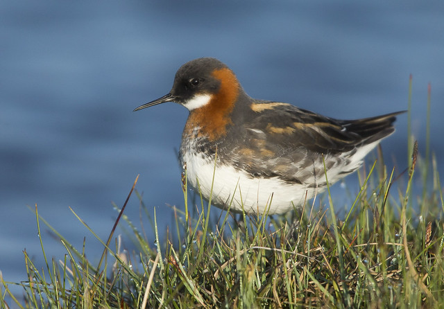Red Necked Phalarope  North Uist Outer Hebrides Scotland 2021