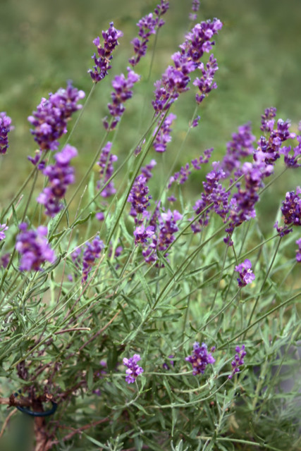 Purple Lavender @ DayLight