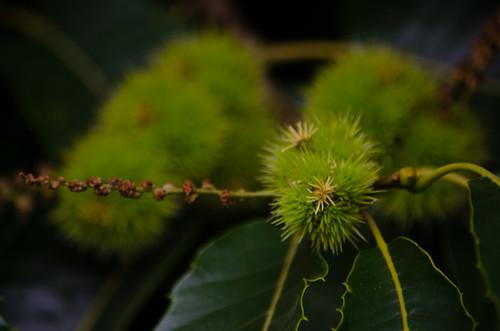 Sweet chestnuts, Bantock Park