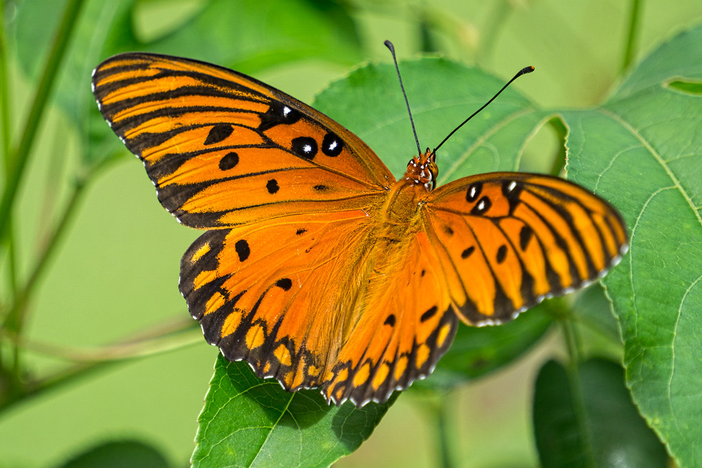Gulf Fritillary (Passion Butterfly)