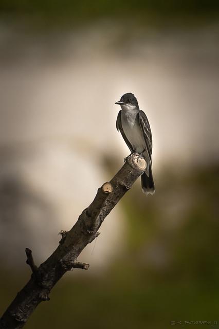 Eastern Kingbird...