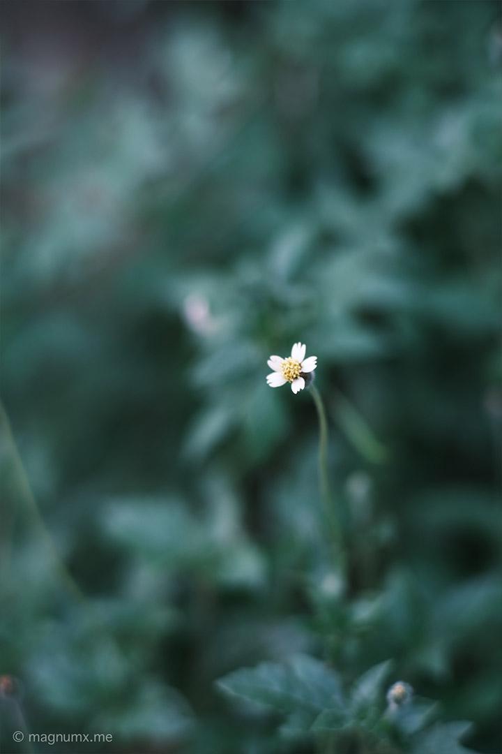 ภาพถ่ายต้นหญ้าข้างทาง เลนส์ Kamlan 50mm f1.1 กล้อง Fujifilm X-E4