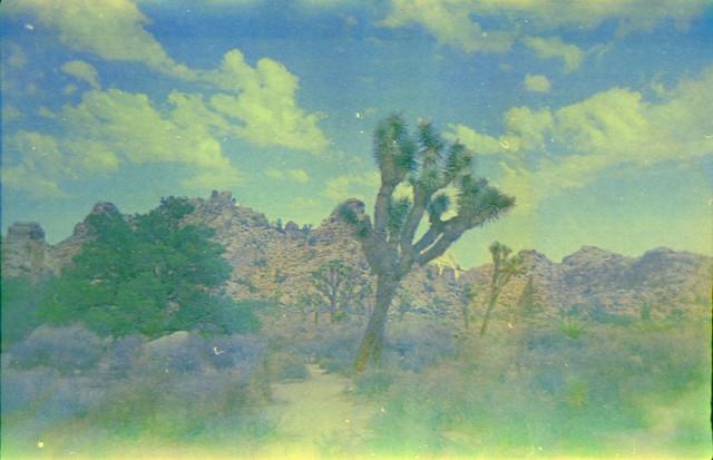 Joshua Trees Cross Processed