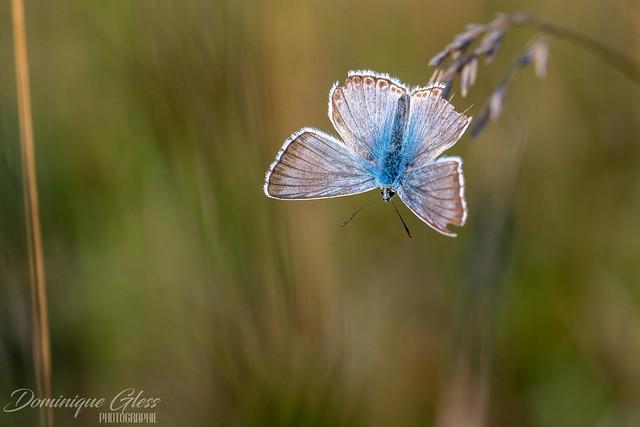 Argus bleu-nacré - Chalkhill blue