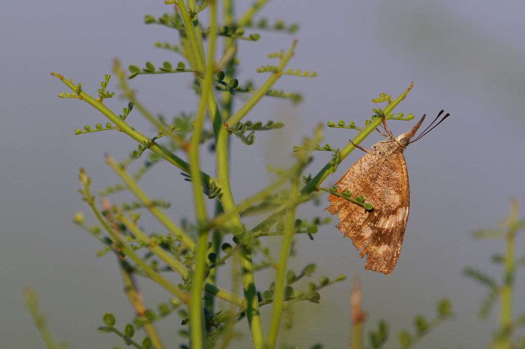 An American snout butterfly clings to a palo verde on the Jane Rau Trail in McDowell Sonoran Preserve in Scottsdale, Arizona on August 24, 2021. Original: _RAC7380.arw