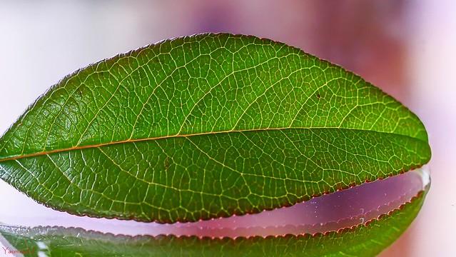 10092 - #MacroMondays #Leaf
