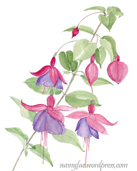 Watercolour fuchsia sketch
