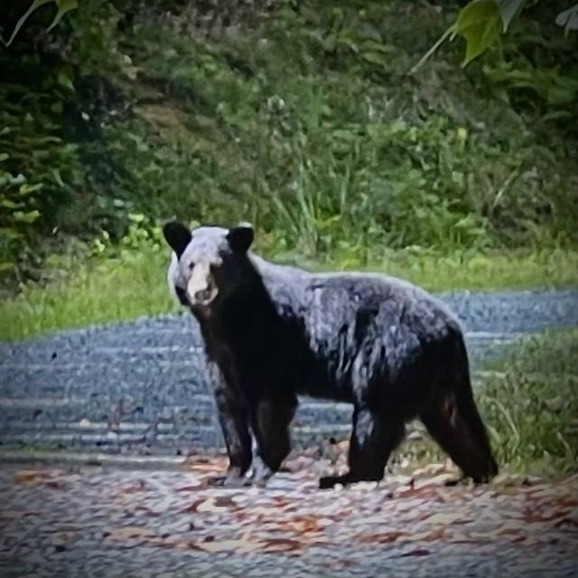 Young Black Bear of Klonteska Mountain.