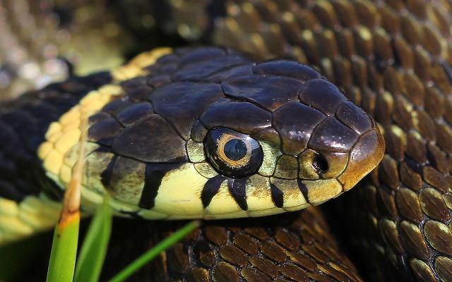Grass Snake - Natrix natrix 250821 (Explored)