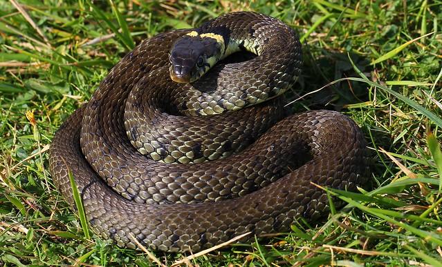 Grass Snake - Natrix natrix 250821 (13)
