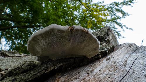 Oak mazegill on a log, Bantock Park