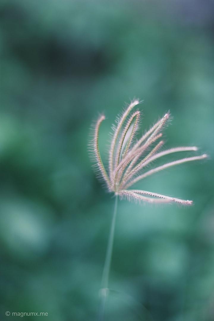 ภาพถ่ายดอกหญ้า เลนส์ Kamlan 50mm f1.1 กล้อง Fujifilm X-E4
