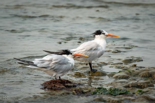 Elegant Terns (Thalasseus elegans)