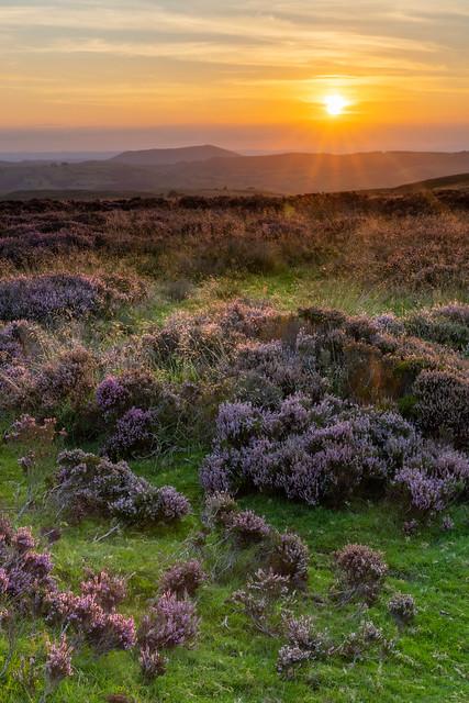 Long Mynd heather-