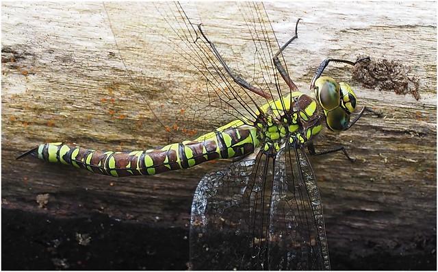 Southern Hawker (Aeshna cyanea) female..