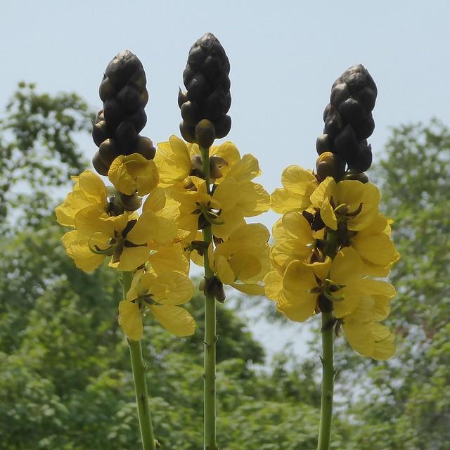 Glencoe, IL, Chicago Botanic Garden, Yellow Flowers