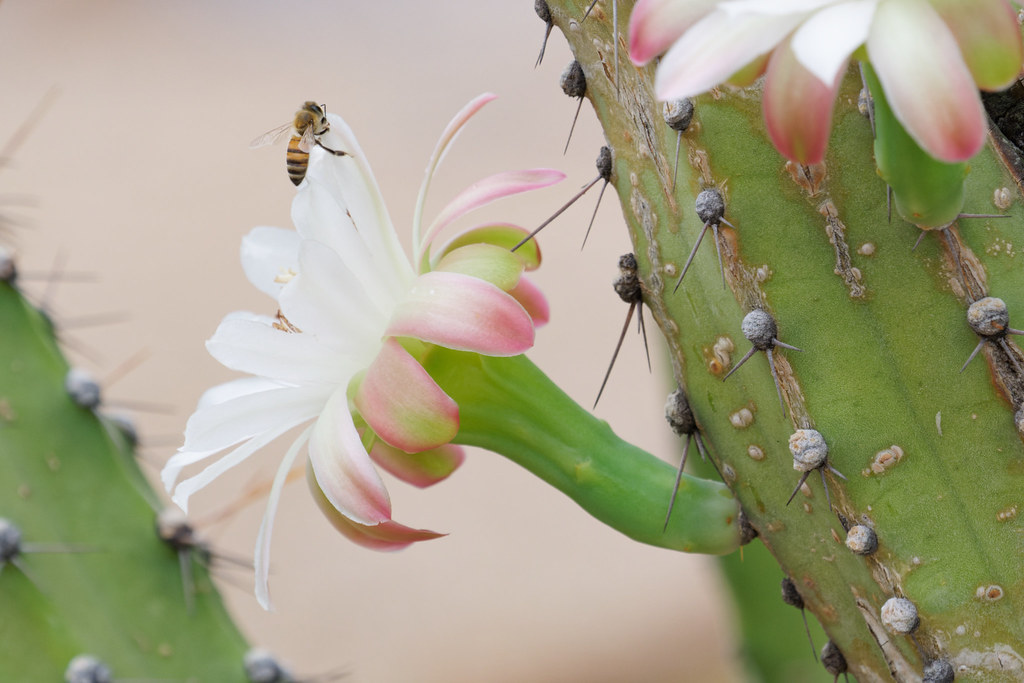 A honeybee clings to the top of a large flower of a cactus in our yard in Scottsdale, Arizona on July 24, 2021. Original: _RAC4490.arw