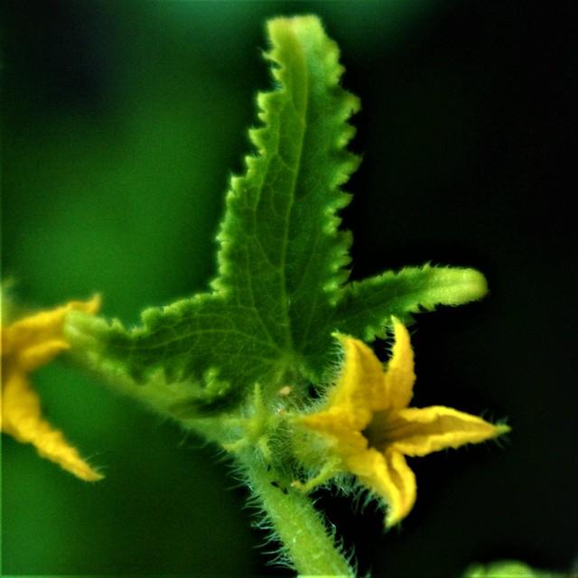 Cucumber leaf and flower.