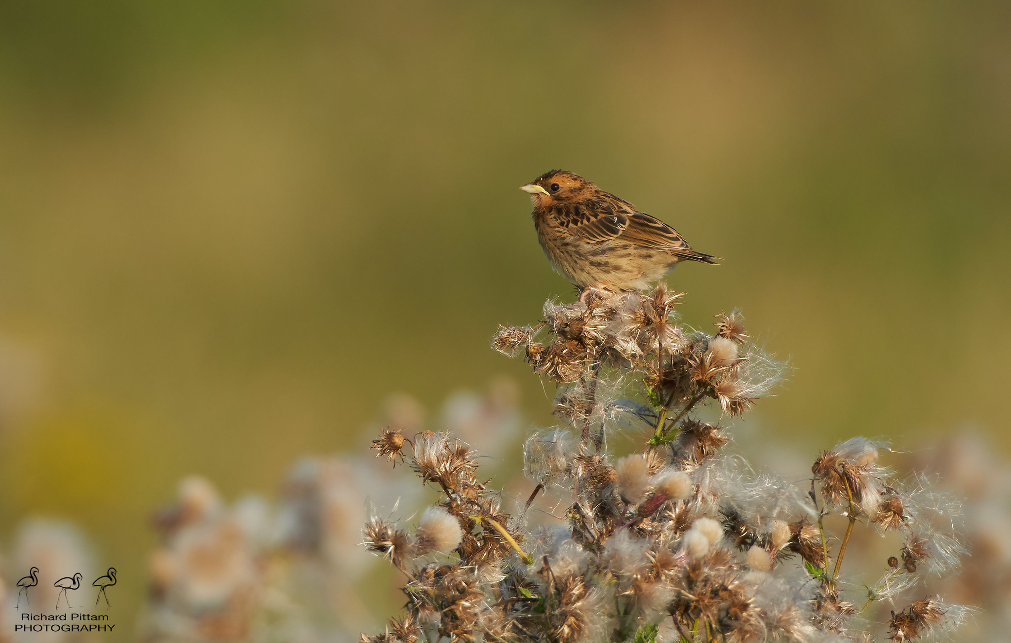 Juvenile Corn Bunting [ distant but a rarity for me]