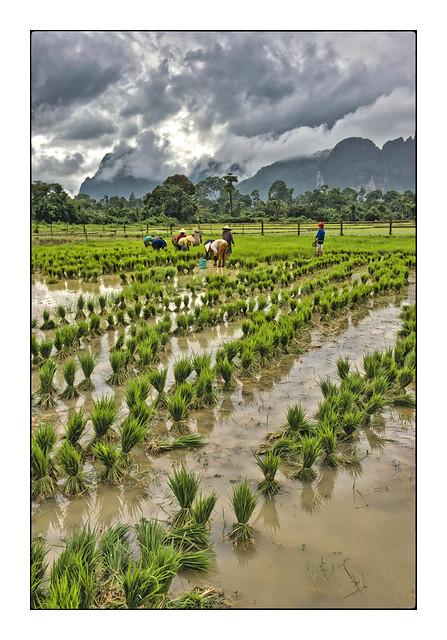Dans les rizières de Vang-Vieng