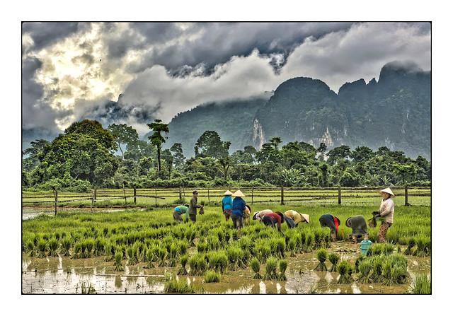 Rizière du Laos
