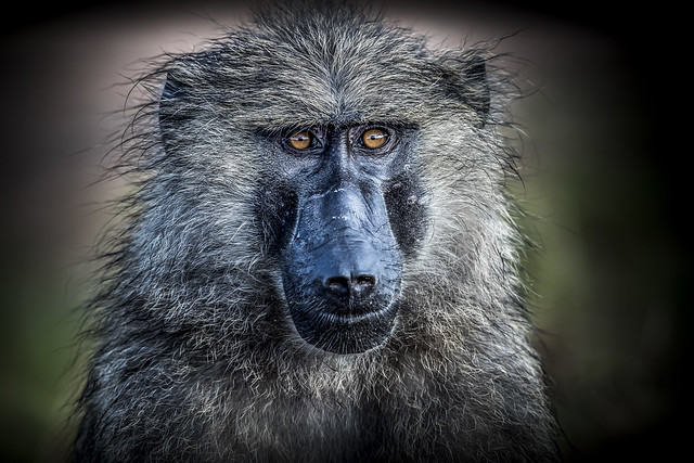 baboon olive -2