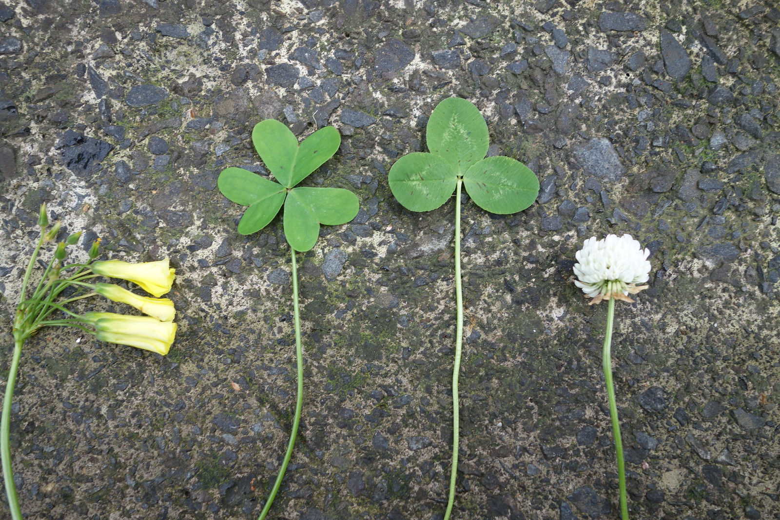 Oxalis (left) and white clover (right)