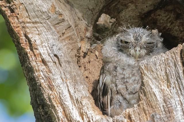 Eastern Screech-Owl - Petit duc maculé