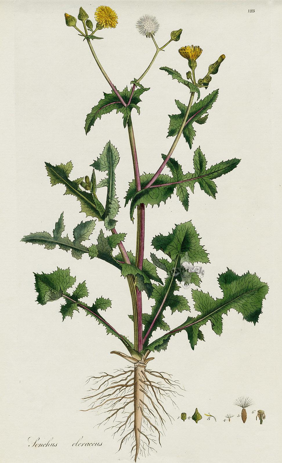 sow thistle (Sonchus oleracus)